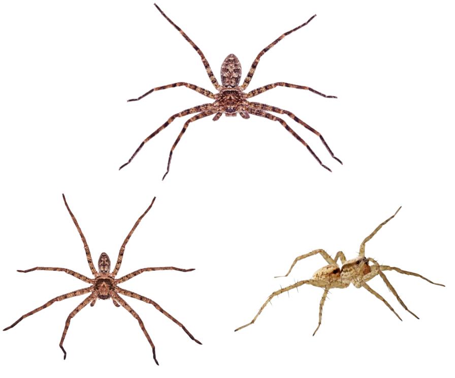 Australian Spider Identification And Spider Bite Treatment